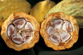 Raw cacao beans inside a pod